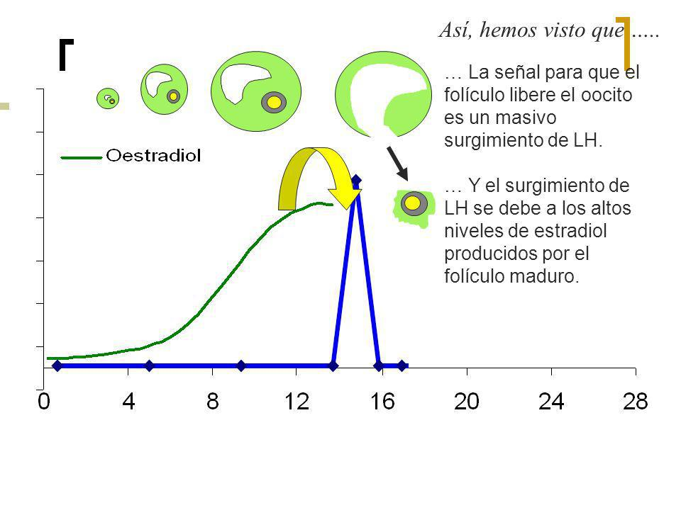 Así, hemos visto que ….. … La señal para que el folículo libere el oocito es un masivo surgimiento de LH.