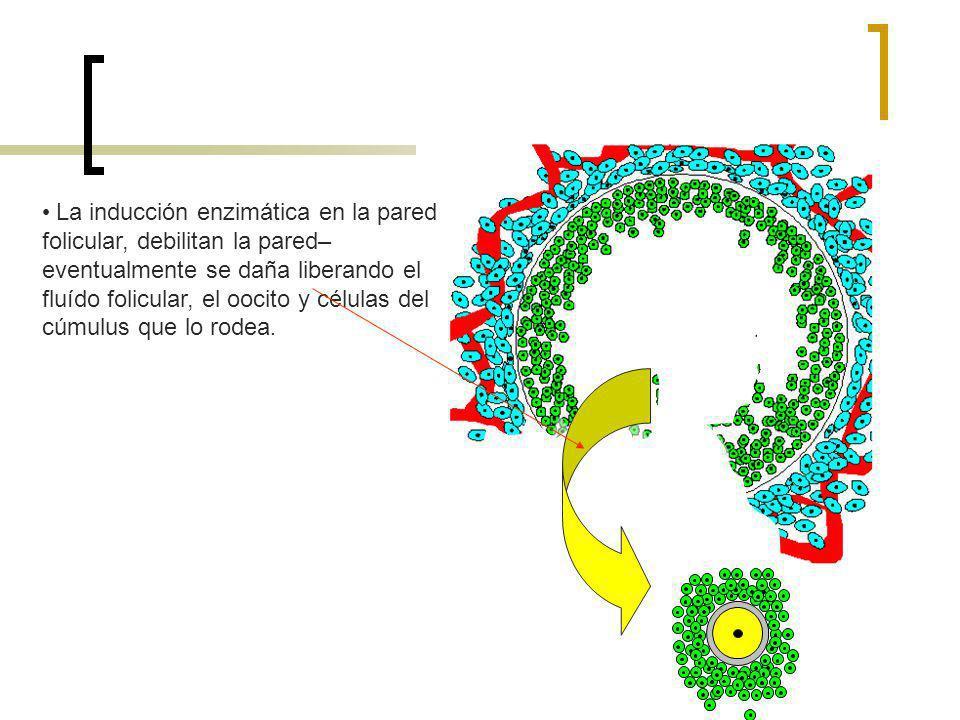 La inducción enzimática en la pared folicular, debilitan la pared–eventualmente se daña liberando el fluído folicular, el oocito y células del cúmulus que lo rodea.