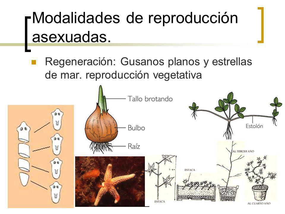 Modalidades de reproducción asexuadas.