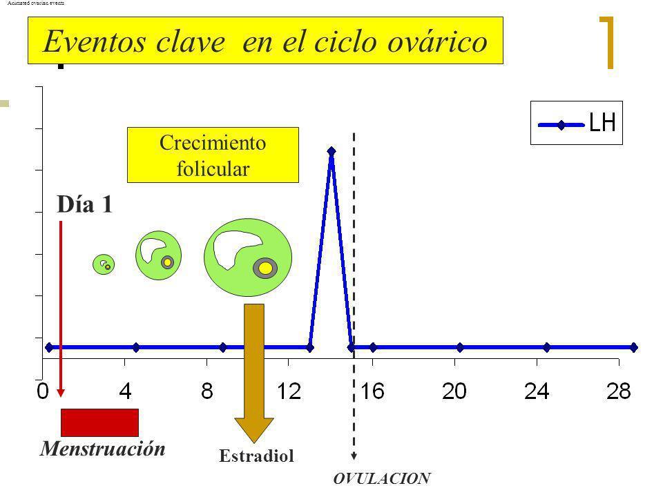 Eventos clave en el ciclo ovárico