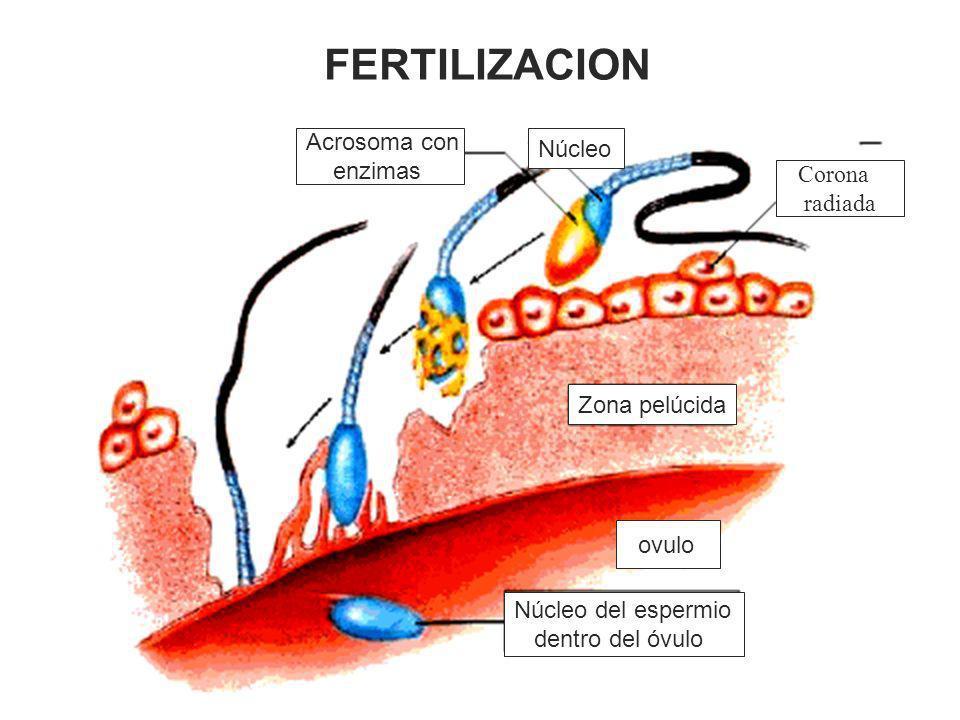 FERTILIZACION Acrosoma con Núcleo enzimas Corona radiada Zona pelúcida