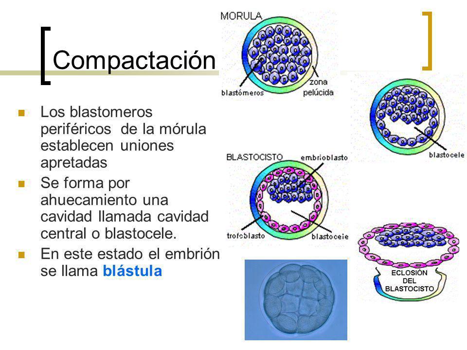 Compactación Los blastomeros periféricos de la mórula establecen uniones apretadas.