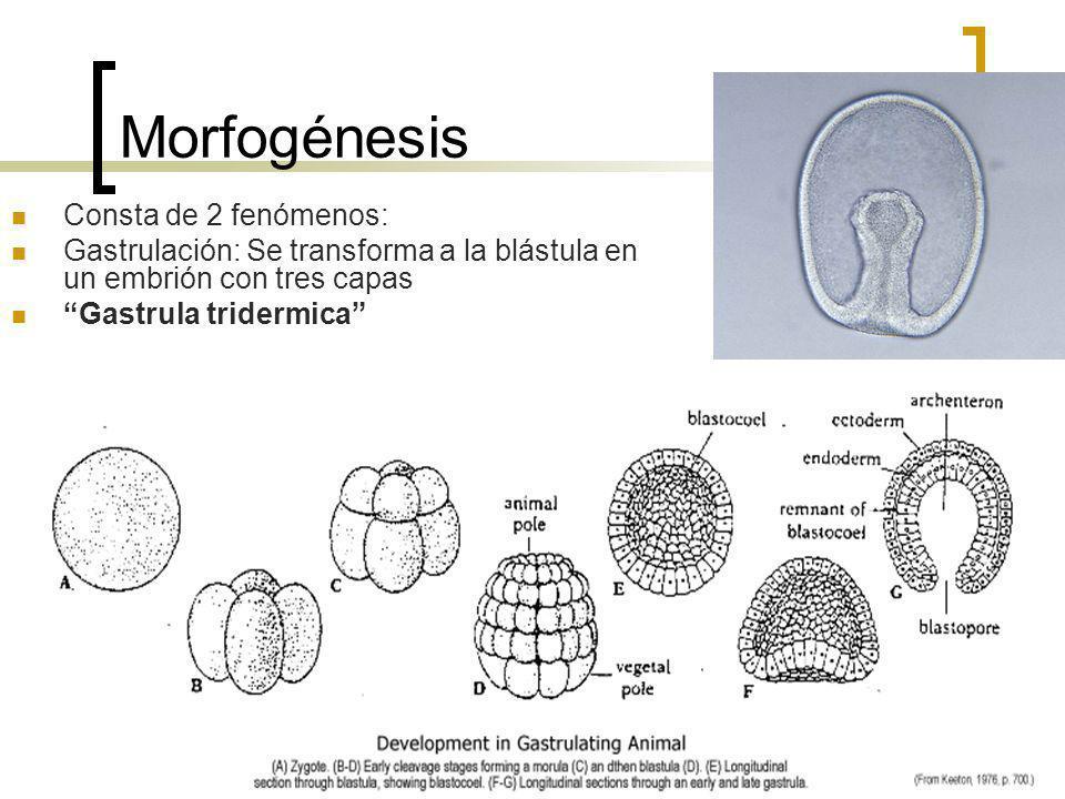 Morfogénesis Consta de 2 fenómenos: