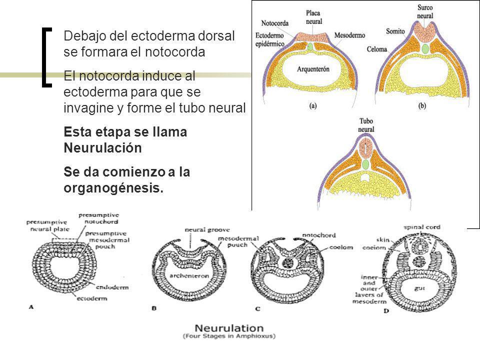 Debajo del ectoderma dorsal se formara el notocorda