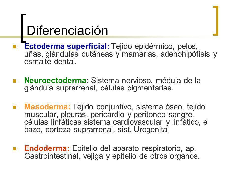 Diferenciación Ectoderma superficial: Tejido epidérmico, pelos, uñas, glándulas cutáneas y mamarias, adenohipófisis y esmalte dental.