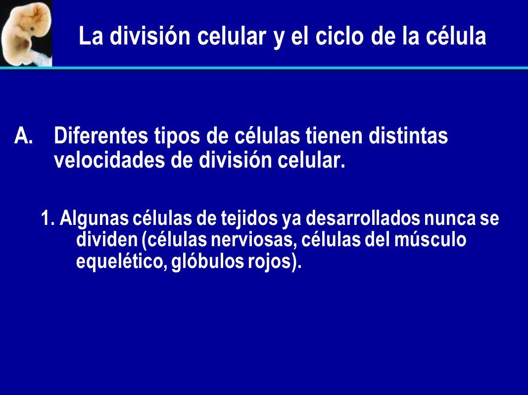 La división celular y el ciclo de la célula