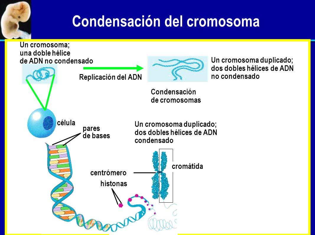 Condensación del cromosoma