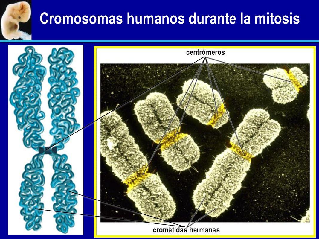 Cromosomas humanos durante la mitosis