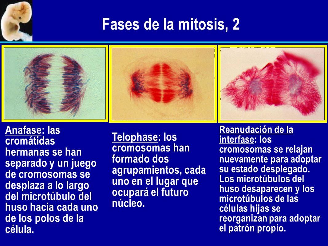 Fases de la mitosis, 2