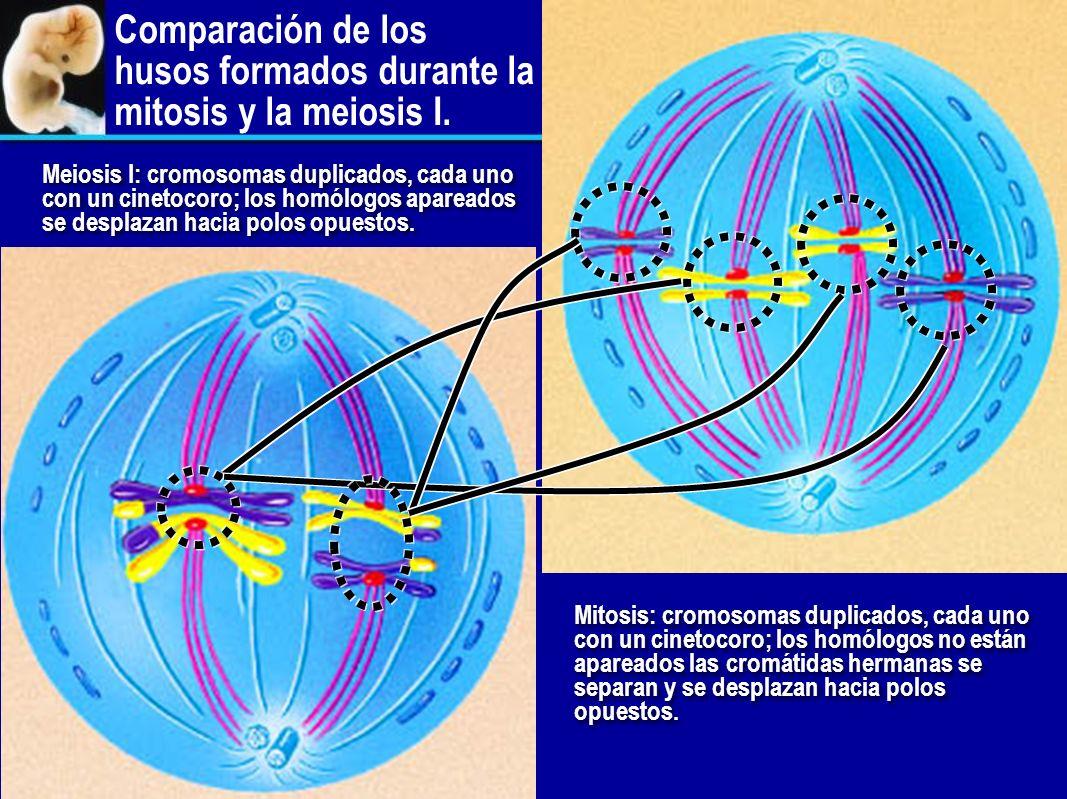 Comparación de los husos formados durante la mitosis y la meiosis I.