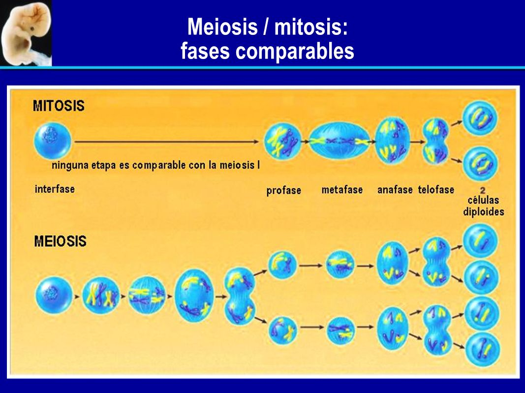 Meiosis / mitosis: fases comparables