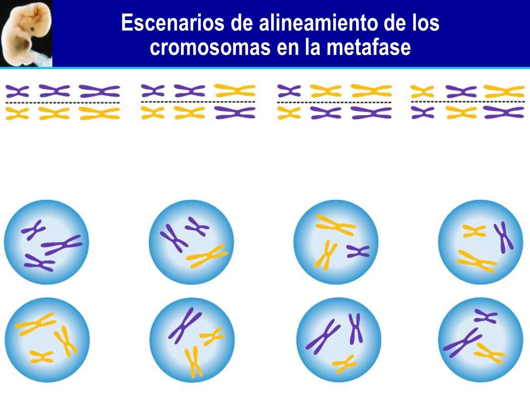 Escenarios de alineamiento de los cromosomas en la metafase