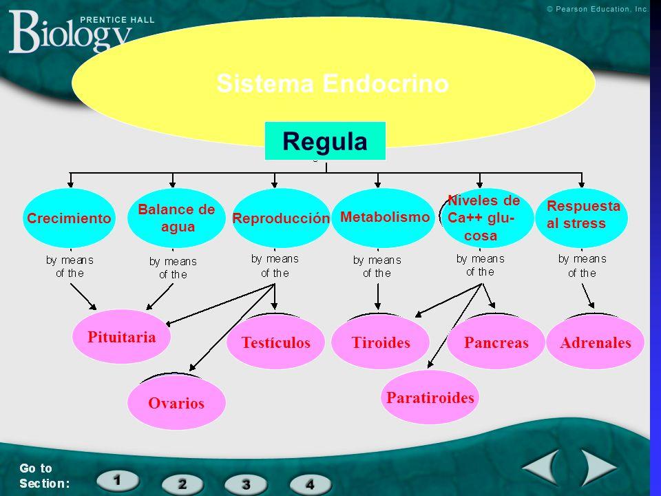 Sistema Endocrino Regula