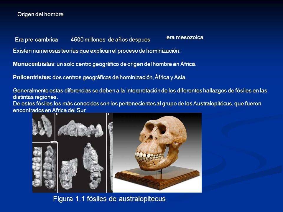 Figura 1.1 fósiles de australopitecus