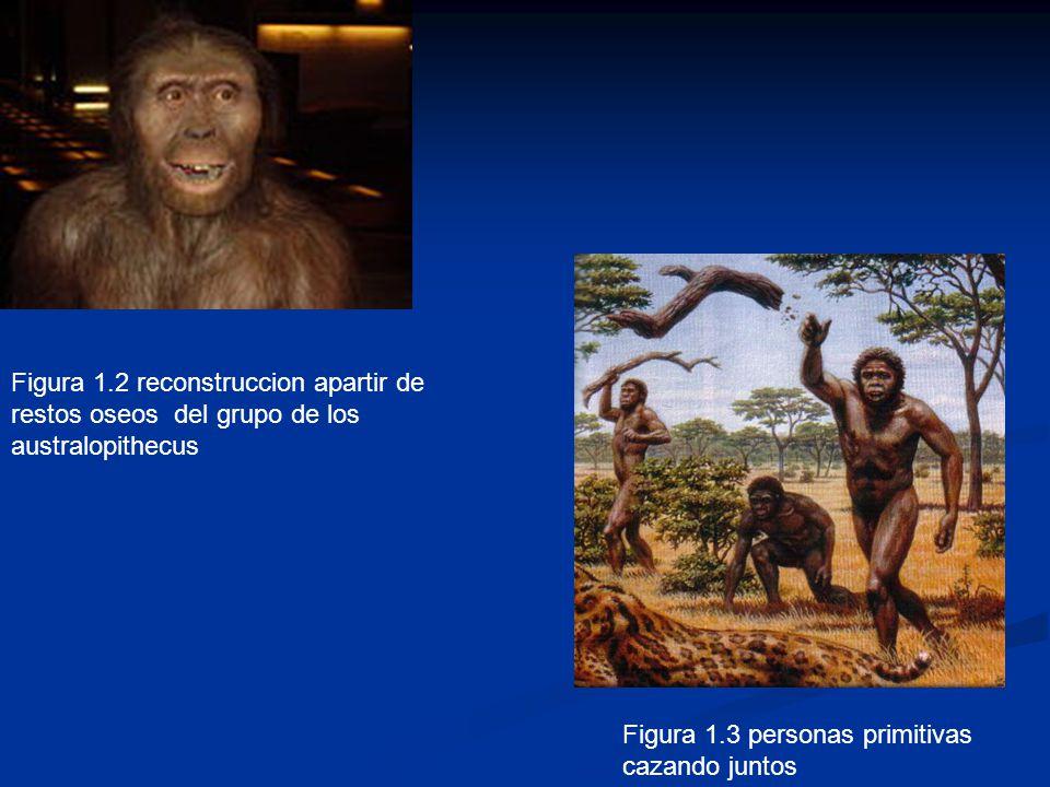 Figura 1.2 reconstruccion apartir de restos oseos del grupo de los australopithecus