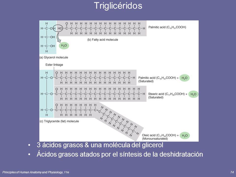 Triglicéridos 3 ácidos grasos & una molécula del glicerol