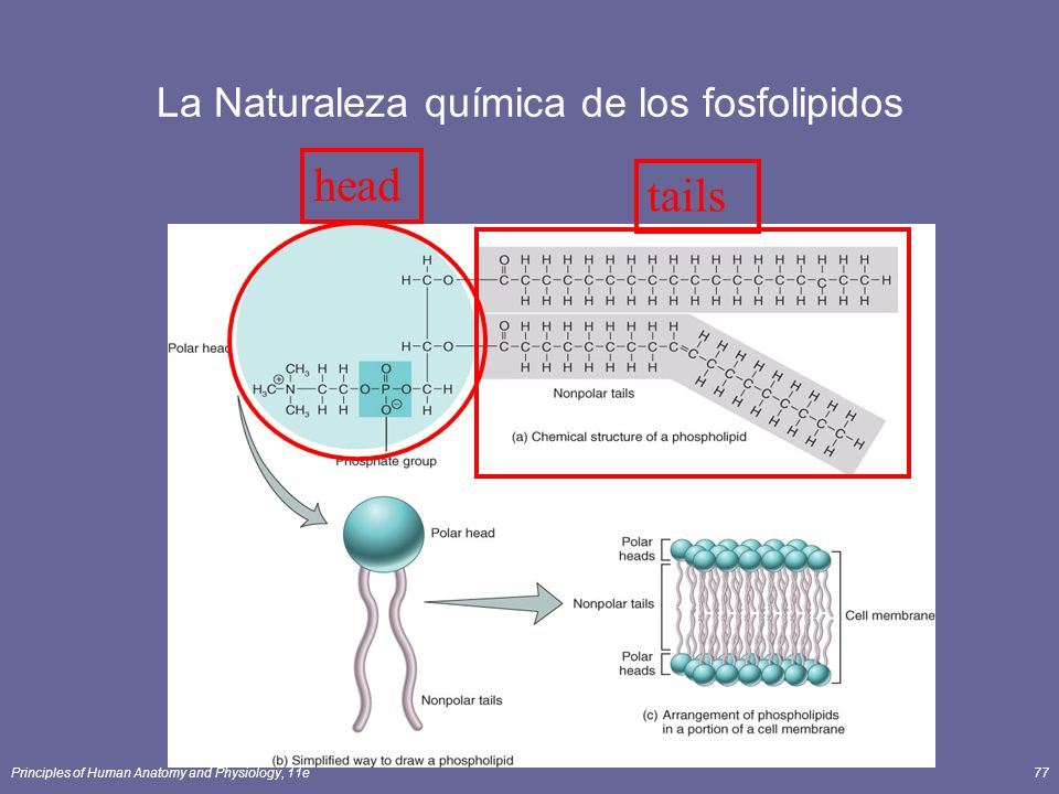 La Naturaleza química de los fosfolipidos