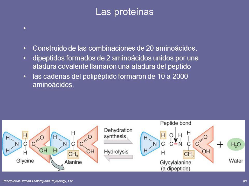 Las proteínas Construido de las combinaciones de 20 aminoácidos.