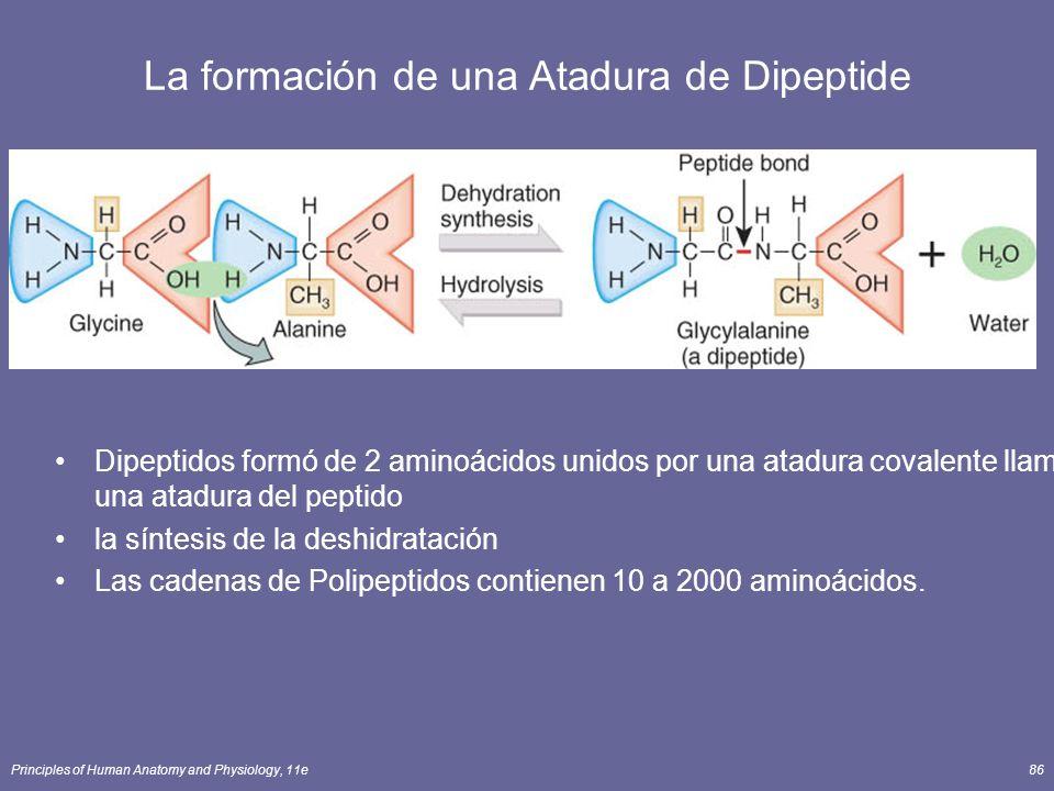 La formación de una Atadura de Dipeptide