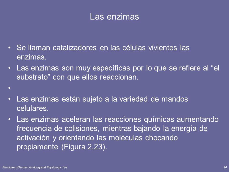 Las enzimas Se llaman catalizadores en las células vivientes las enzimas.