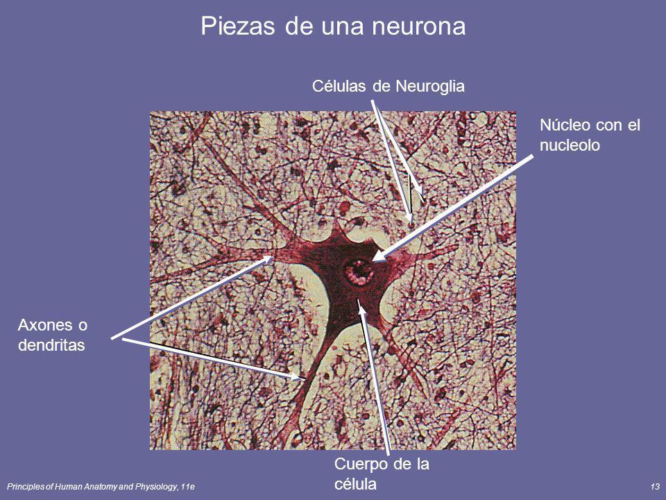 Piezas de una neurona Células de Neuroglia Núcleo con el nucleolo