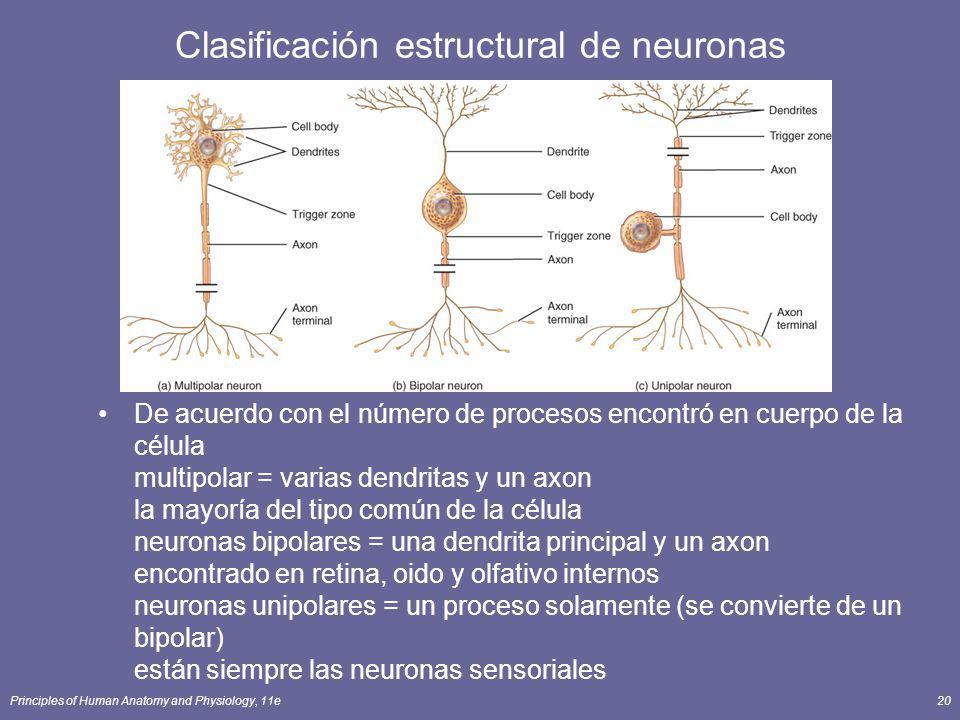 Clasificación estructural de neuronas
