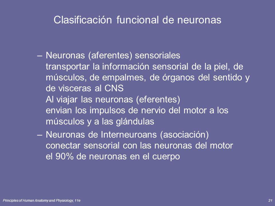 Clasificación funcional de neuronas