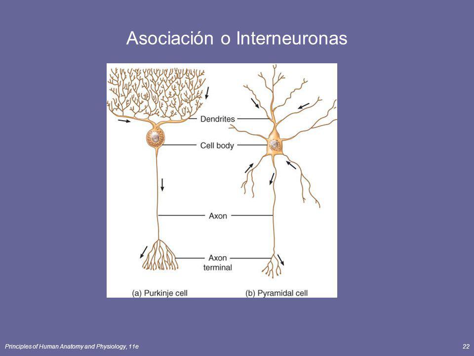 Asociación o Interneuronas