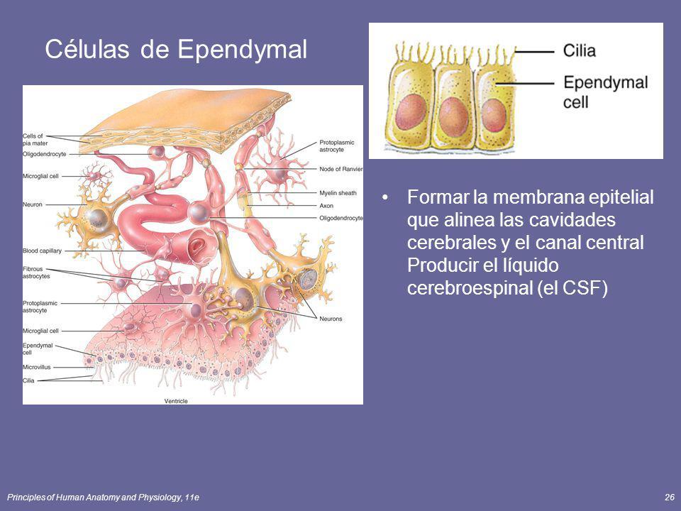 Células de Ependymal Formar la membrana epitelial que alinea las cavidades cerebrales y el canal central Producir el líquido cerebroespinal (el CSF)
