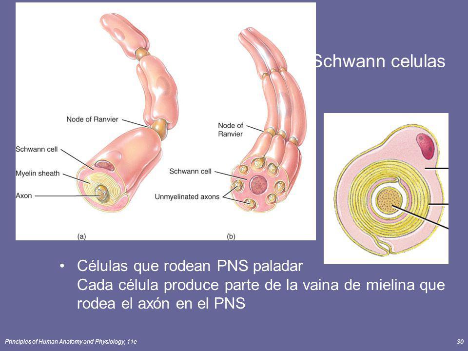 Schwann celulas Células que rodean PNS paladar Cada célula produce parte de la vaina de mielina que rodea el axón en el PNS.