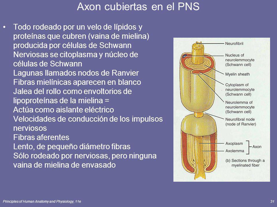 Axon cubiertas en el PNS