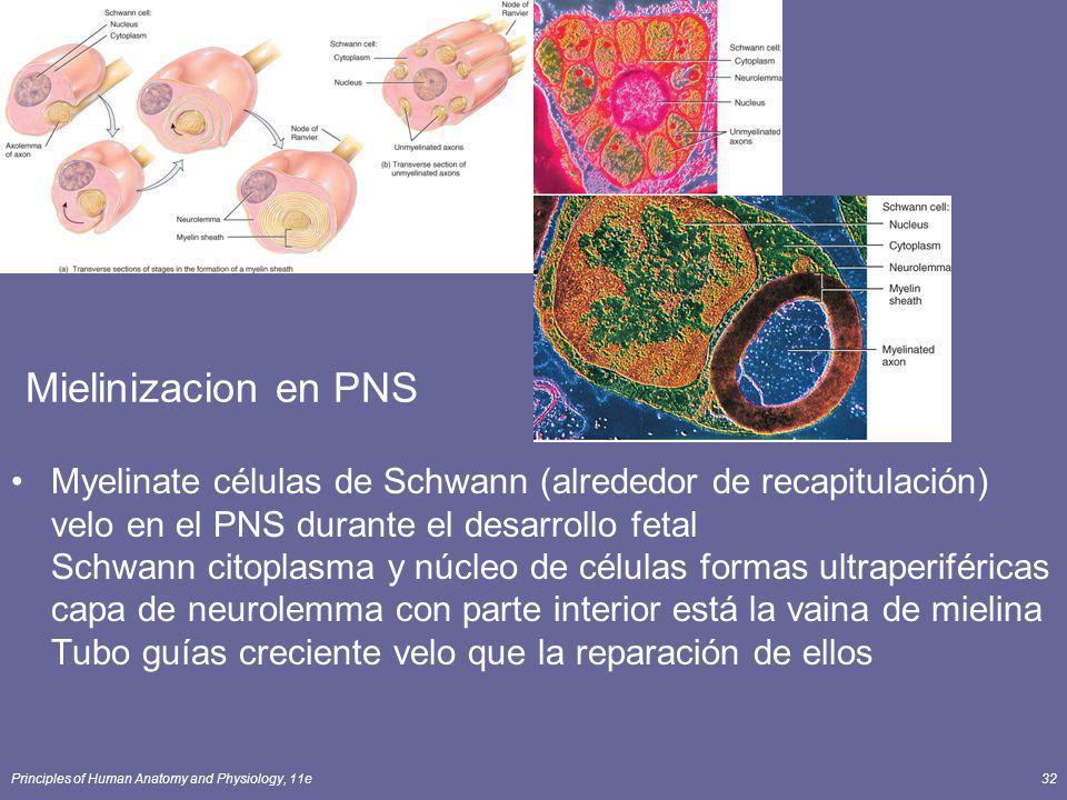 Mielinizacion en PNS