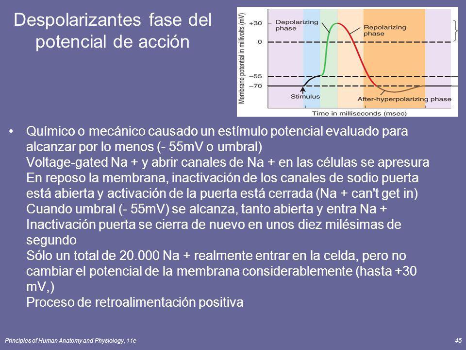 Despolarizantes fase del potencial de acción