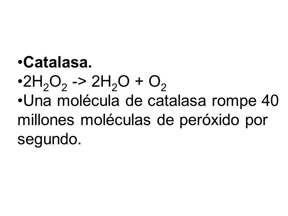 Catalasa. 2H2O2 -> 2H2O + O2.