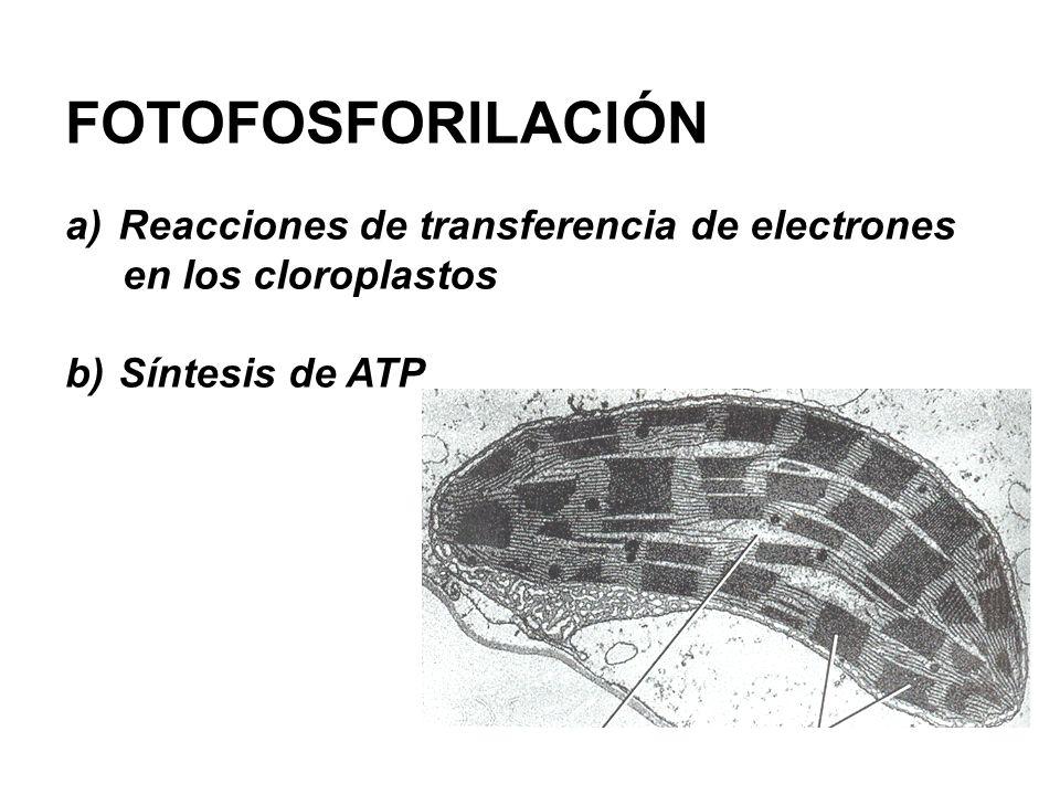 FOTOFOSFORILACIÓN Reacciones de transferencia de electrones