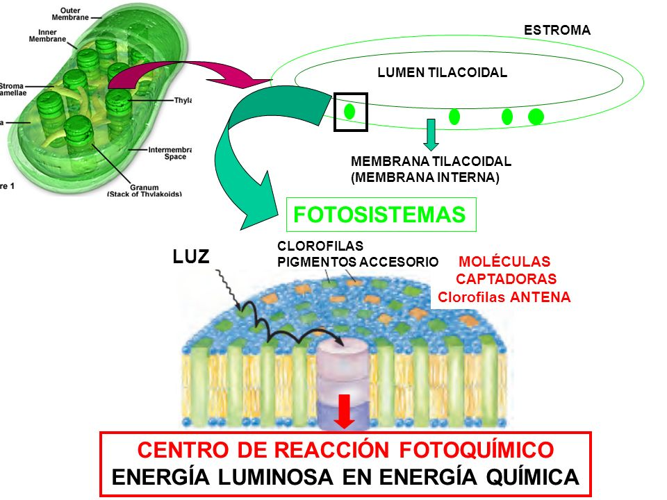 CENTRO DE REACCIÓN FOTOQUÍMICO ENERGÍA LUMINOSA EN ENERGÍA QUÍMICA