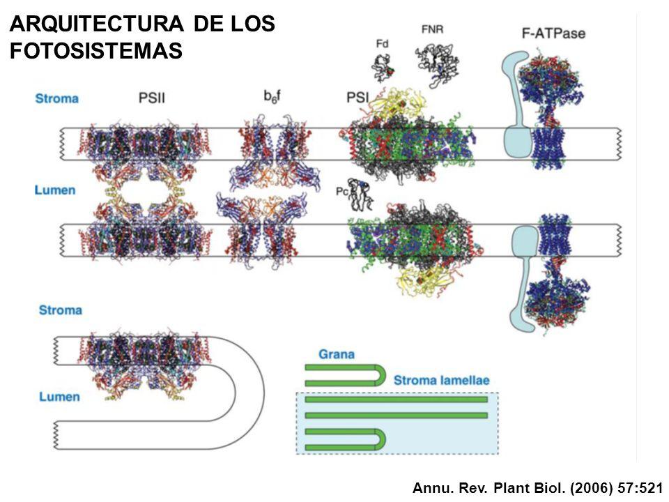 ARQUITECTURA DE LOS FOTOSISTEMAS Annu. Rev. Plant Biol. (2006) 57:521
