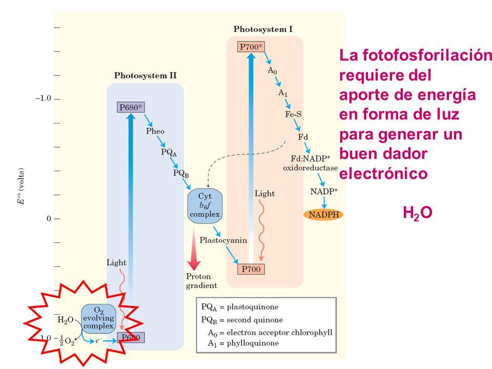 La fotofosforilación requiere del. aporte de energía. en forma de luz. para generar un. buen dador.