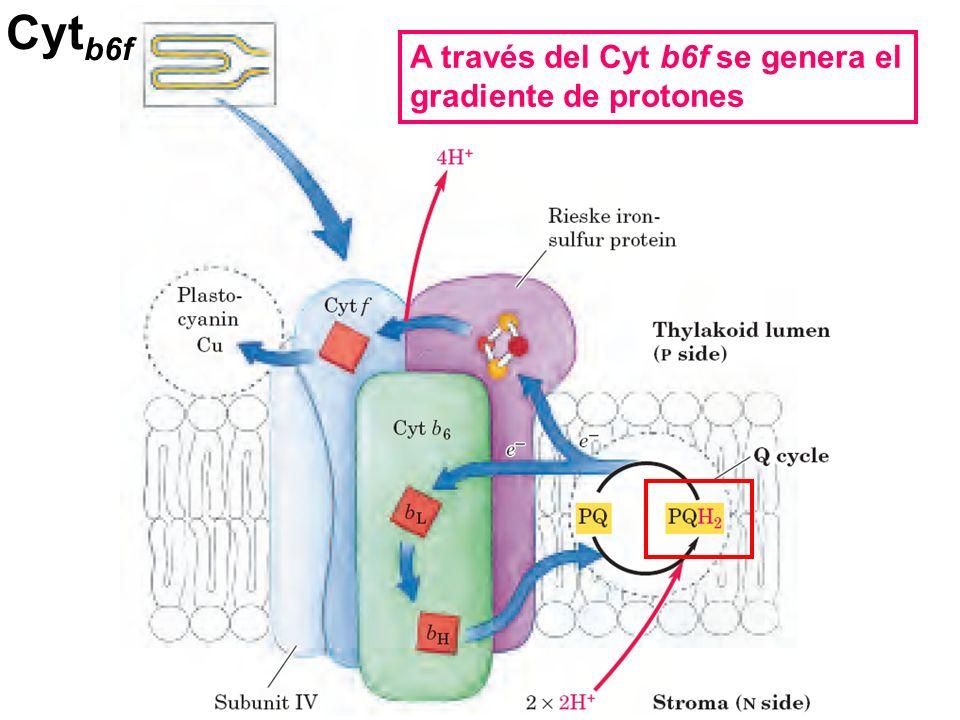 Cytb6f A través del Cyt b6f se genera el gradiente de protones