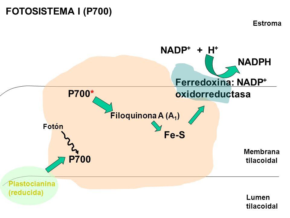 FOTOSISTEMA I (P700) NADP+ + H+ NADPH Ferredoxina: NADP+