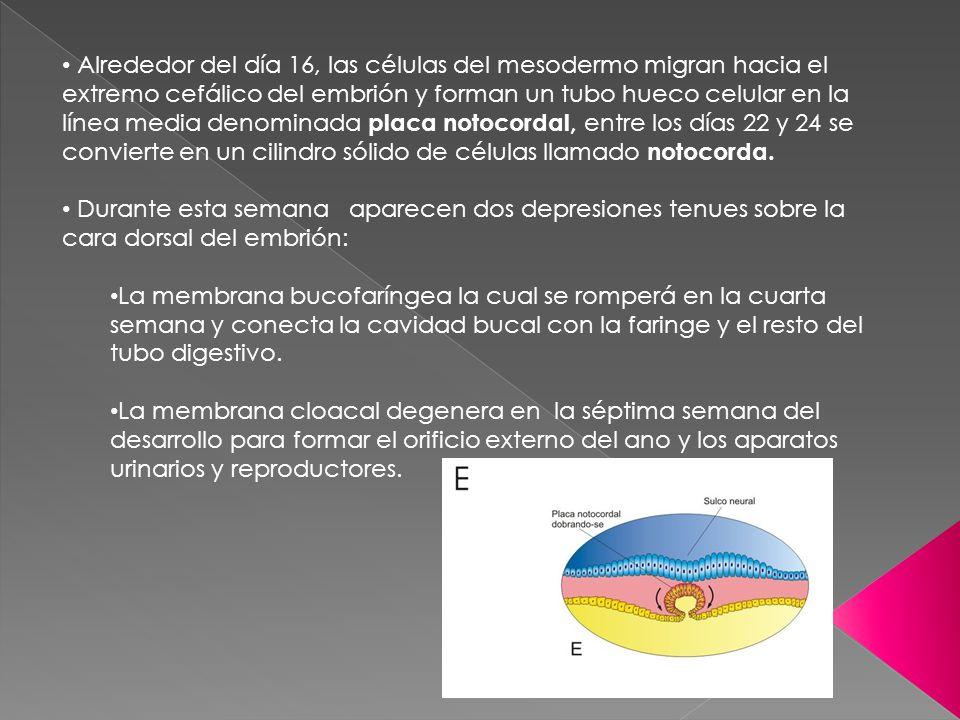 Alrededor del día 16, las células del mesodermo migran hacia el extremo cefálico del embrión y forman un tubo hueco celular en la línea media denominada placa notocordal, entre los días 22 y 24 se convierte en un cilindro sólido de células llamado notocorda.
