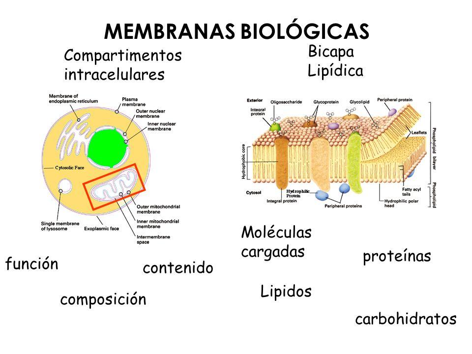 MEMBRANAS BIOLÓGICAS Bicapa Compartimentos Lipídica intracelulares