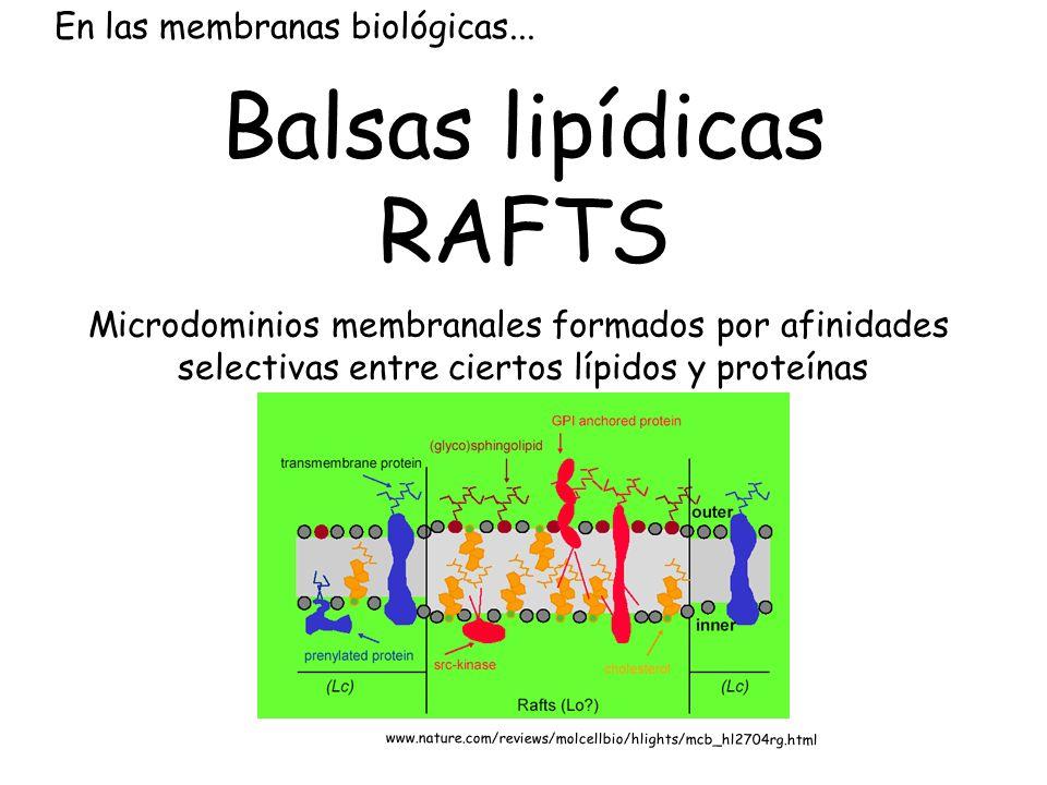 Balsas lipídicas RAFTS En las membranas biológicas...