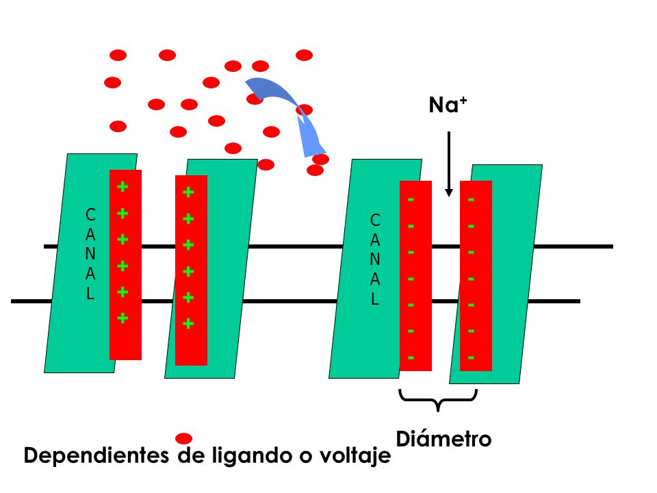 Dependientes de ligando o voltaje