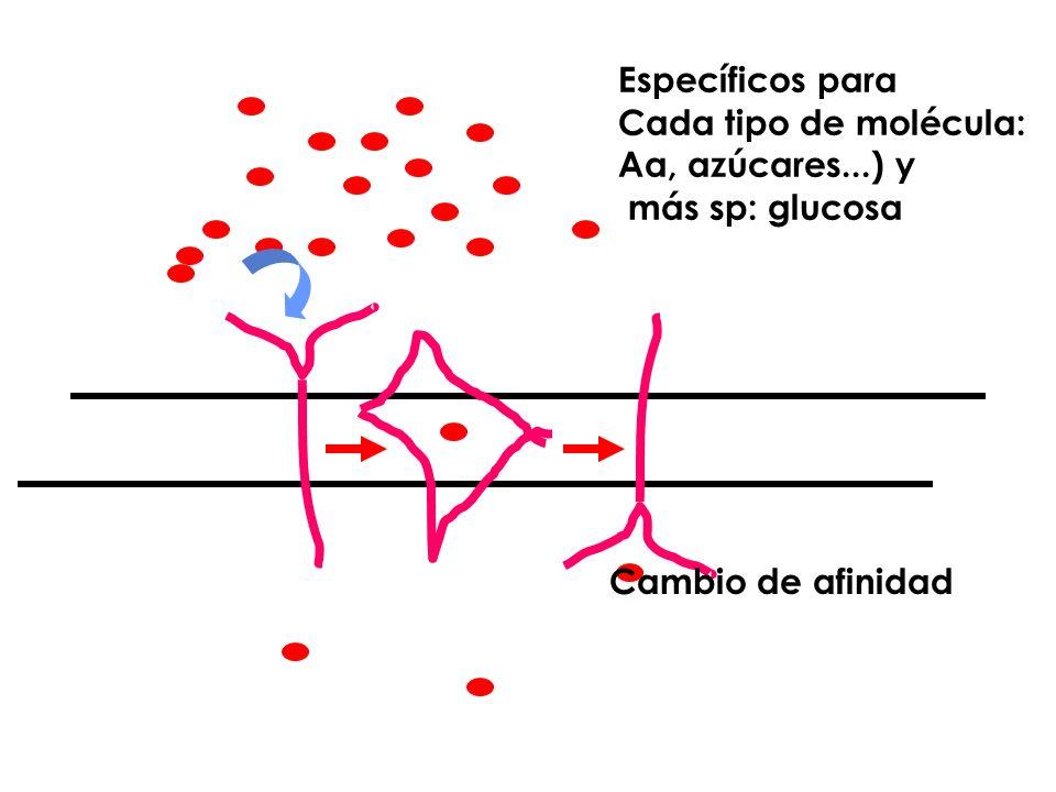 Específicos para Cada tipo de molécula: Aa, azúcares...) y más sp: glucosa Cambio de afinidad