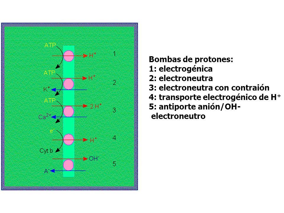 Bombas de protones: 1: electrogénica. 2: electroneutra. 3: electroneutra con contraión. 4: transporte electrogénico de H+