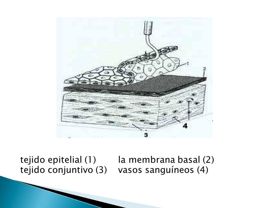 tejido epitelial (1) la membrana basal (2)
