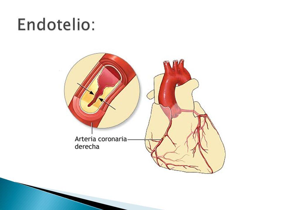 Endotelio: