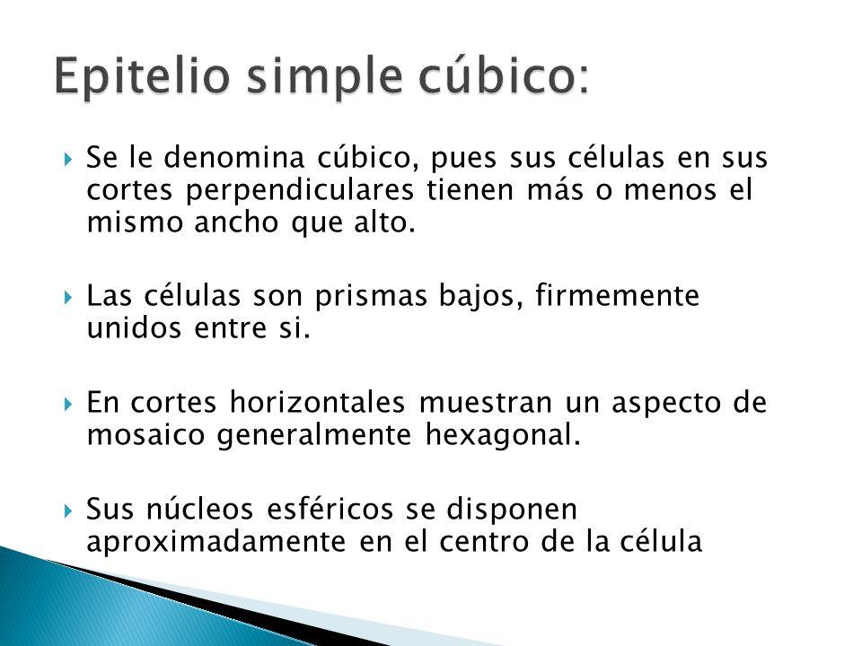 Epitelio simple cúbico: