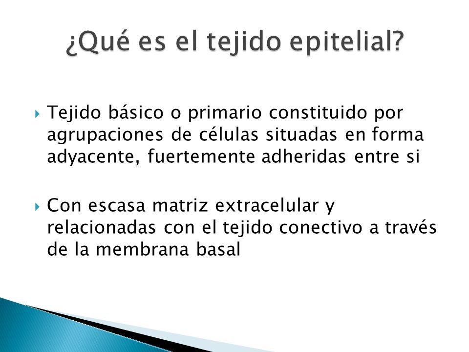 ¿Qué es el tejido epitelial